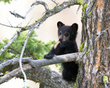Black Bear Cub Near Calcite Springs Chewing on Piece of Wood.jpg