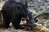 Black Bear Sow Hunting for Grubs Near Calcite Springs.jpg