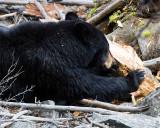 Black Bear Sow Near Calcite Springs.jpg