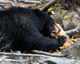 Black Bear Sow Near Calcite Springs Chewing on a Log.jpg