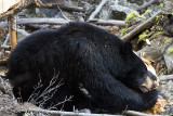 Black Bear Sow Near Calcite Springs Chewing on a Log 2.jpg