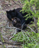 Black Bear Sow and Cub Playing Near Calcite Springs.jpg