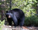 Black Bear Sow Near Calcite Springs Walking on the Hillside.jpg