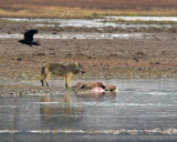 Canyon Alpha Female on Elk Kill in Alum Creek with Flying Raven.jpg