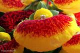 Calceolaria II