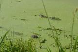 Alligator Spa