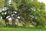 Ancient Live Oaks