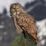 North American Owls