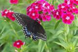 Black Swallowtail on Sweet William