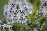 Amsonia tabernaemontana - Bluestars