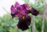 Wind-tossed Iris