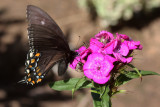 Black form female Eastern Tiger Swallowtail on Dianthus