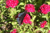 Red Spotted Purple on Sweet William