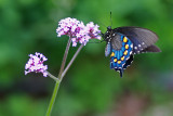 Male Pipevine Swallowtail on  Verbena bonairiensis