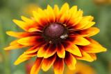 Rudbeckia and pollinator