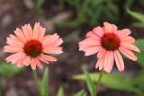 Volunteer Echinacea - New Color