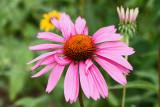 Whimsical Echinacea