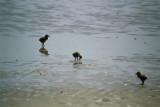 Chicks on the beach