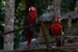 En 1996 Honduras declaró al Papagayo su ave nacional
