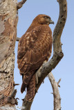 Red-Tailed Hawk (Buteo jamaicensis) (4880)