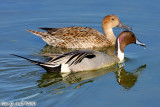 Northern Pintail Duck (Anas acuta) (5763)