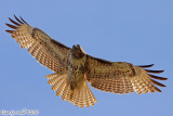 Red Tail Hawk (Buteo jamaicensis) (5992)