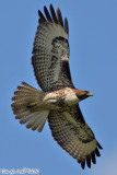 Red Tail Hawk (Buteo jamaicensis) (6138)
