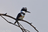 Belted Kingfisher (Megaceryle alcyon) (6585).jpg