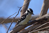 Downy Woodpecker (Picoides pubescens) (6641).jpg