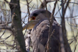 Black-crowned Night Heron (Nycticorax nycticorax) (7115)
