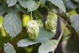 Beer hops, Chicago Botanical Garden