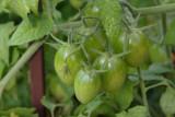 Fresh tomatoes, Chicago Botanical Garden