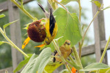 American Goldfinch, Chicago Botanical Garden
