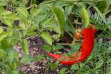 Red pepper, Chicago Botanical Garden