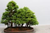 The Cypress garden, Bonsai, Chicago Botanical Garden