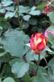 The Rose bud, Chicago Botanical Garden