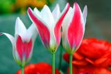 Spring 2009 - Such soft tulips, Chicago Botanical Garden
