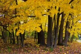 Pennsylvania - State College - Yellow woods, Fall Colors