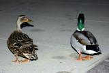 Quack Quack, Look at me!