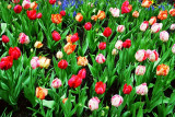 Tulips blowing in the wind, Magnificent Mile, Chicago
