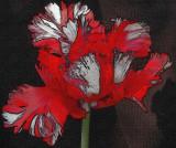 Tulip Artwork.jpg