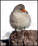 Snowfinch - Dolomite Alps / Italy