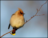 Waxwing in my neighbours garden - First birdpicture with new Eos-5D MkII