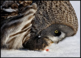 Great Gray Owl feeding on meat- Tornio