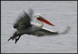 Adult Dalmatian Pelican