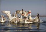 Feeding of Dalmatian Pelicans