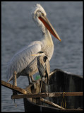And you thought  the Grey Heron is big bird!!!