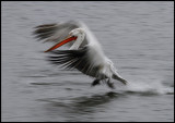 Adult Dalmatian Pelican starting to fly