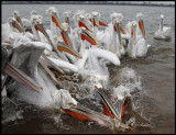 A crowd of adult Dalmatian Pelicans trying to get our fish