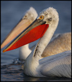 Old Dalmatian and young White Pelican